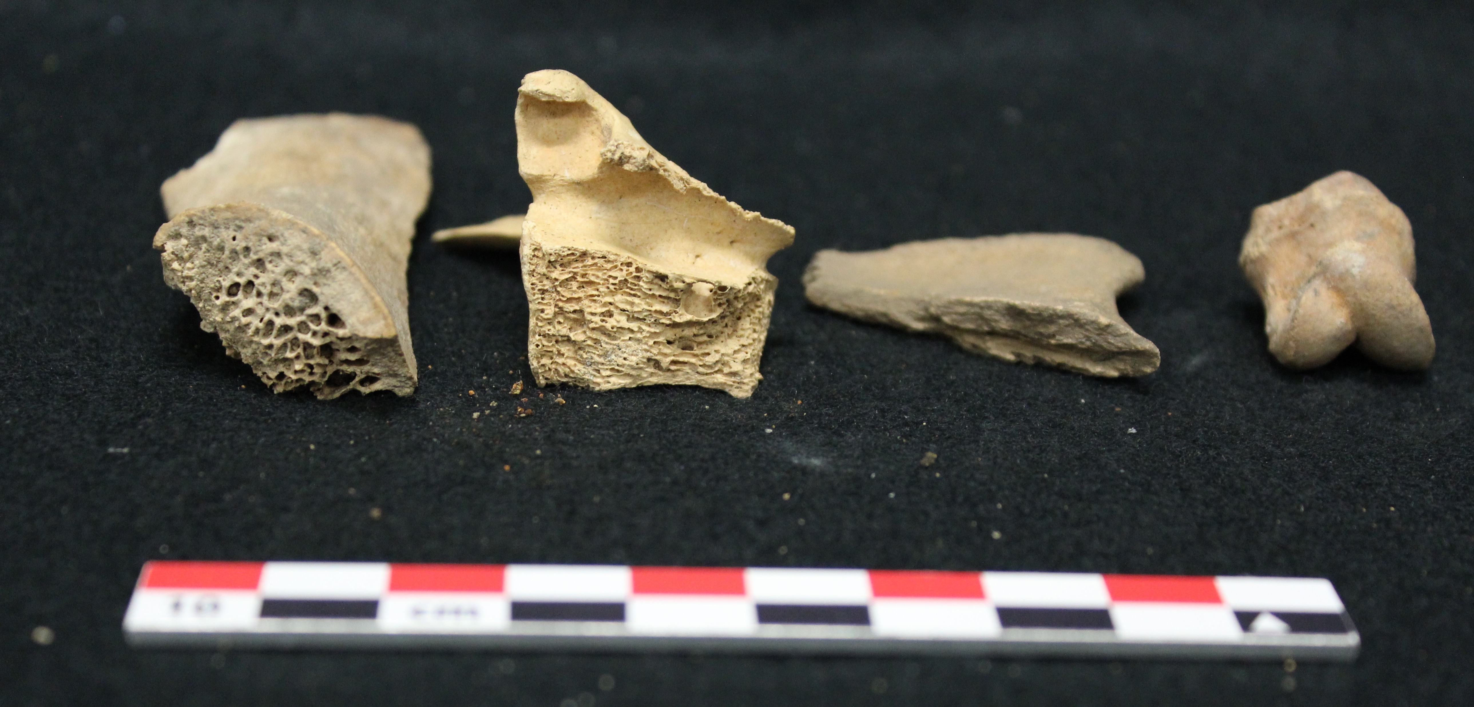 Animal bones from Campus Archaeology excavations. Image Courtesy of Campus Archaeology